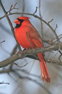 By LASZLO ILYES from Cleveland, Ohio, USA (♂ Cardinal  Uploaded by Snowmanradio) [CC BY 2.0 (http://creativecommons.org/licenses/by/2.0)], via Wikimedia Commons