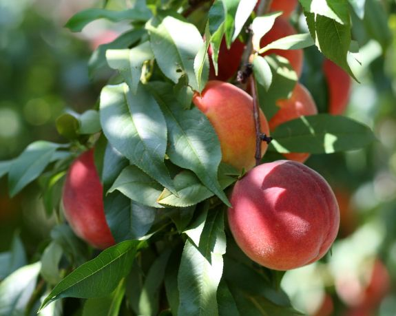 """Harrow Beauty Peaches at Lyman Orchards"" By Sage Ross (Own work) [CC BY-SA 3.0 (http://creativecommons.org/licenses/by-sa/3.0) or GFDL (http://www.gnu.org/copyleft/fdl.html)], via Wikimedia Commons"