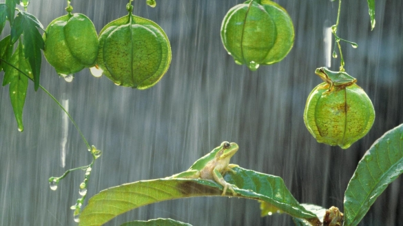 Japanese tree frogs (© Shinji Kusano/Minden Pictures)(Bing Canada)